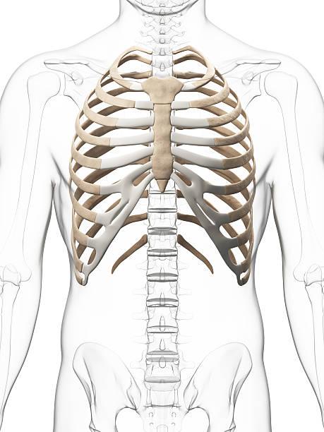 thorax - sternum photos et images de collection