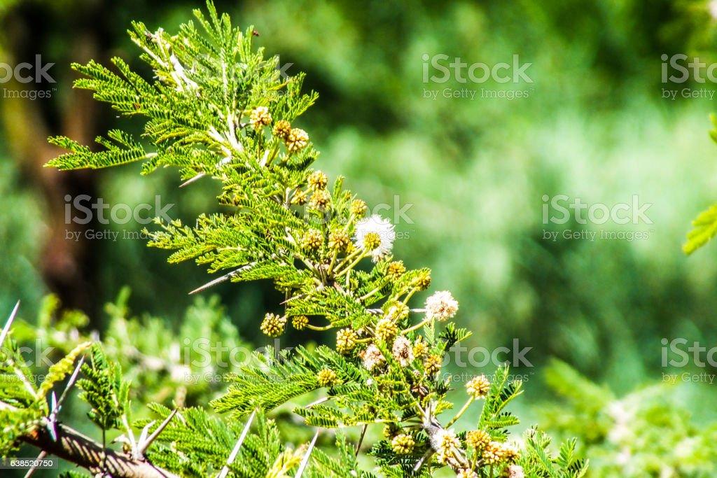 Thorn acacia plant stock photo