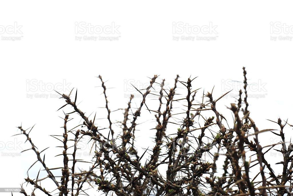 Thorn Bush, monotone stock photo