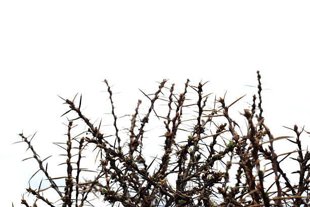 thorn bush, monotone - sharp stock photos and pictures