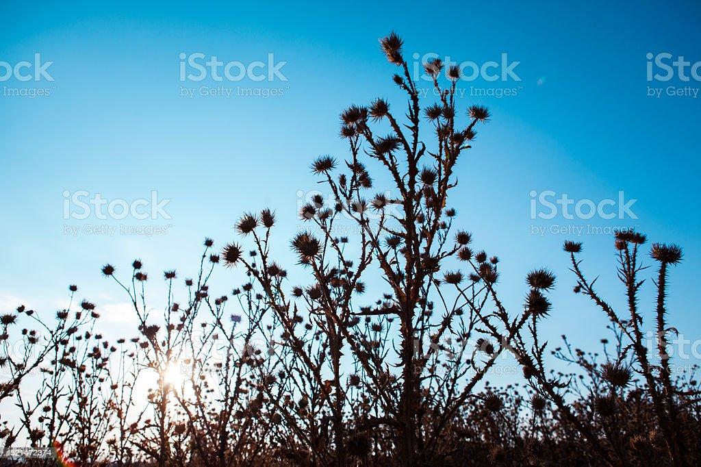Thorn Bush Silhouette stock photo