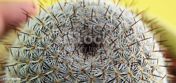 909651510istockphoto thorn cactus texture background, close up. 1173195289