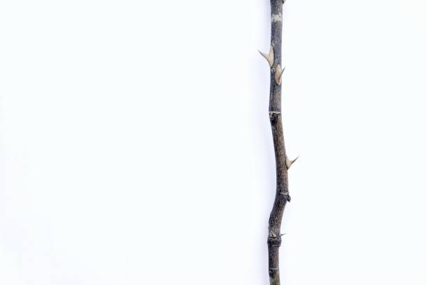 thorn of dry rose stem on white background - thorn stock photos and pictures