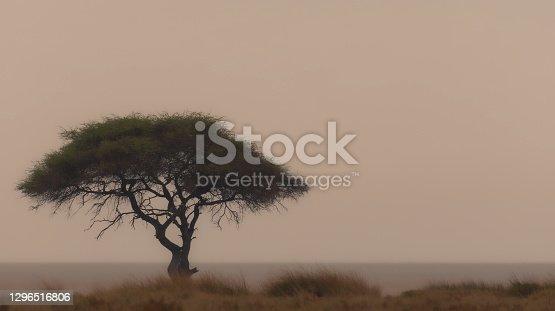Solitary African Thorn tree standing alone, Etosha Pan, Namibia