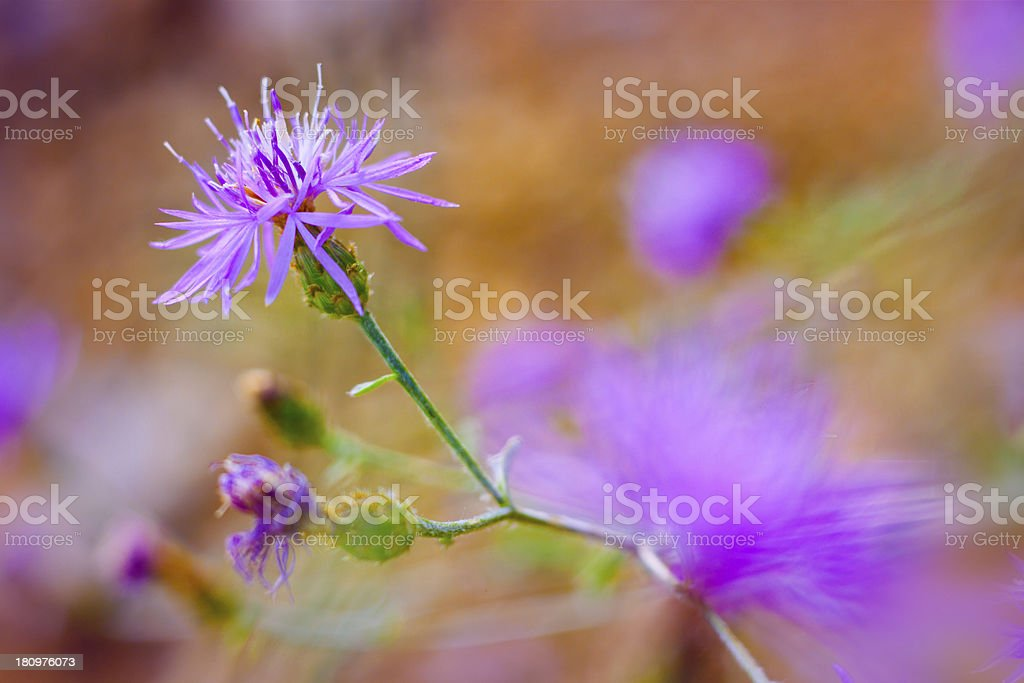 Thorn weed flower royalty-free stock photo