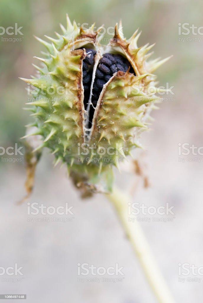 Thornapple (Datura stramonium) Fruit met zaden foto