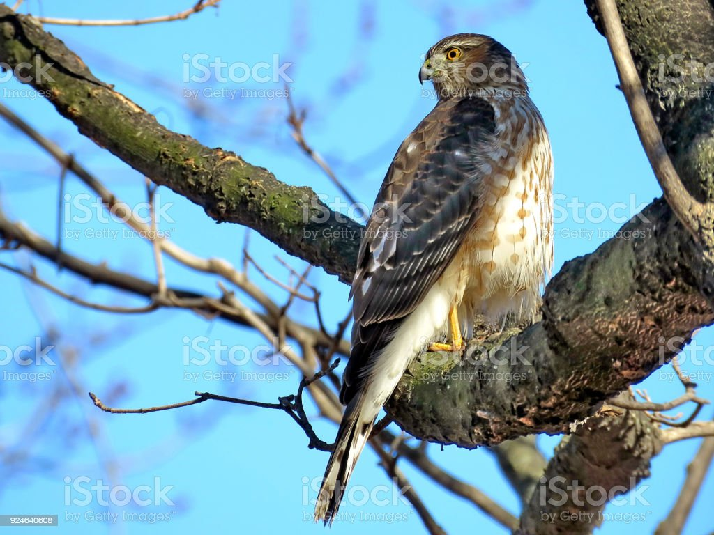 Thornhill Coopers Hawk in forest 2018 stock photo