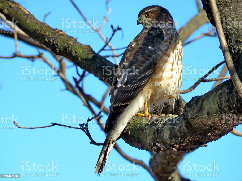 Thornhill Coopers Hawk on a branch 2018 stock photo