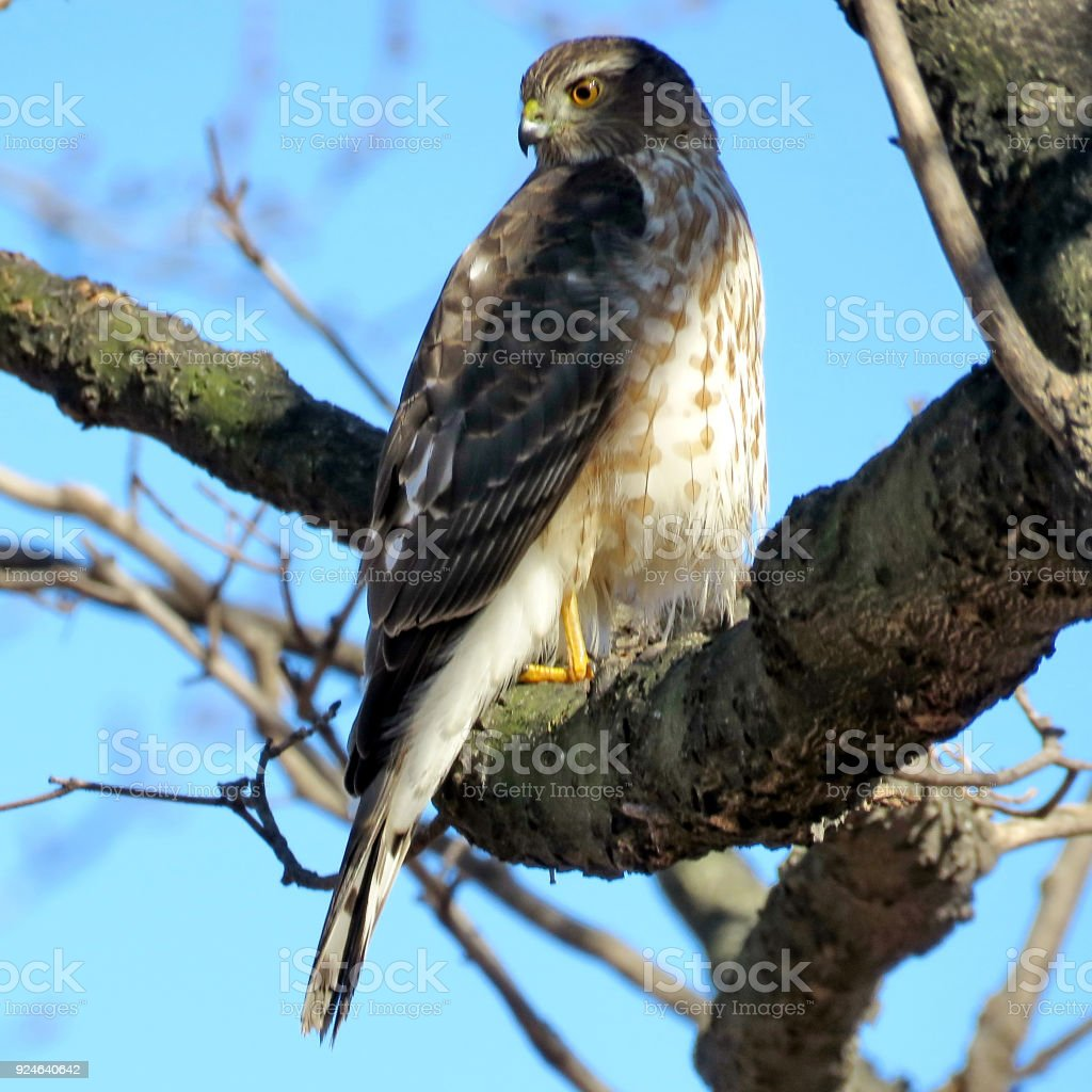 Thornhill portrait of Coopers Hawk 2018 stock photo