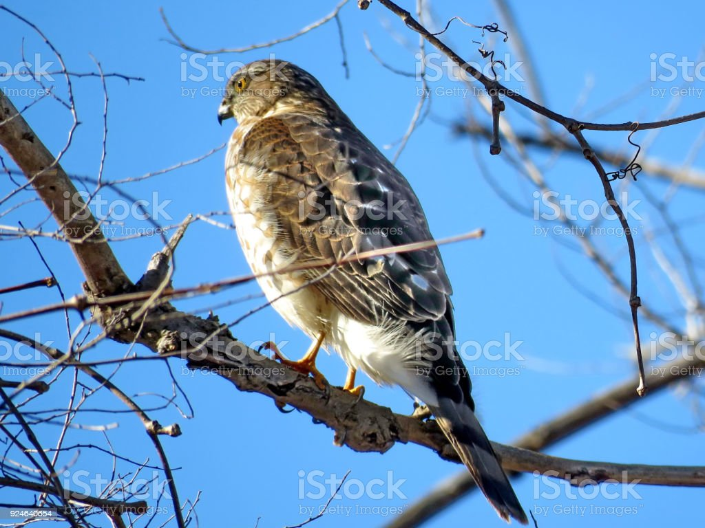 Thornhill portrait of the Coopers Hawk 2018 stock photo