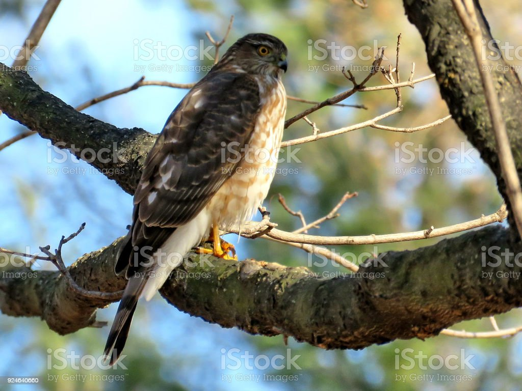 Thornhill the Coopers Hawk in a forest 2018 stock photo
