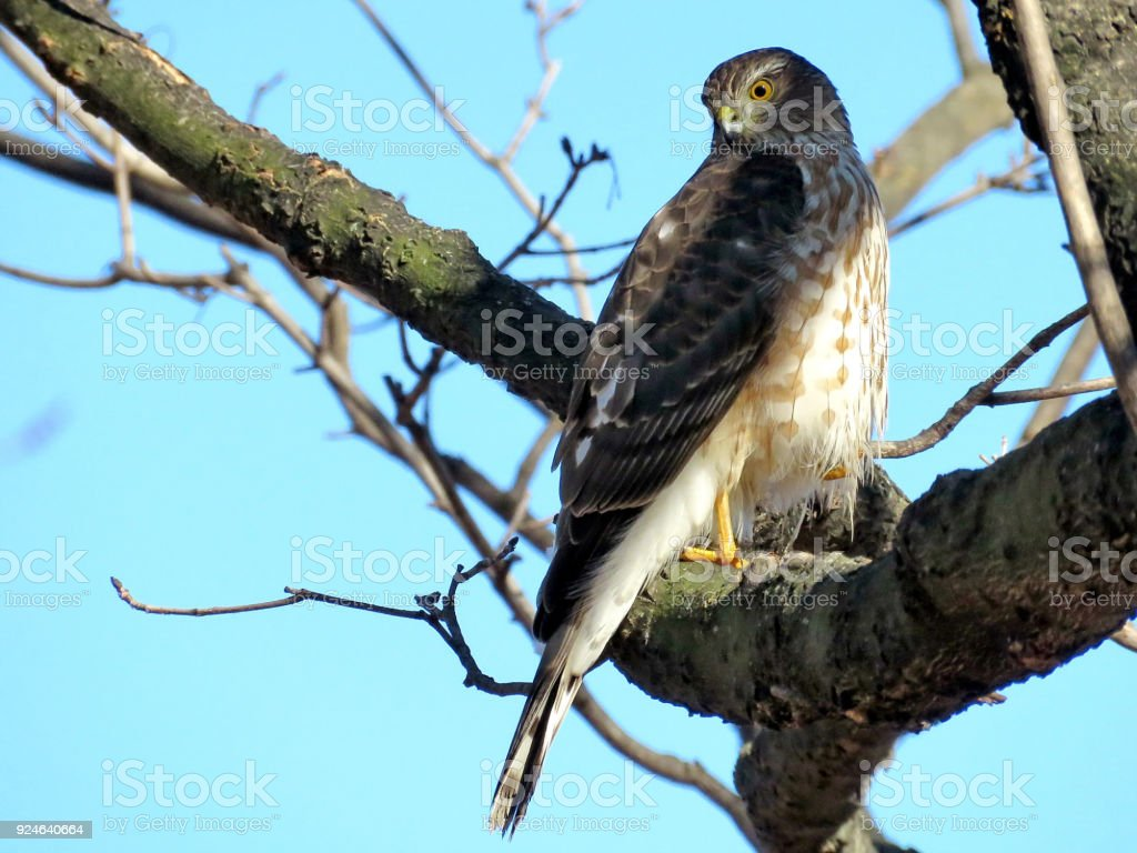 Thornhill the Coopers Hawk on a branch 2018 stock photo