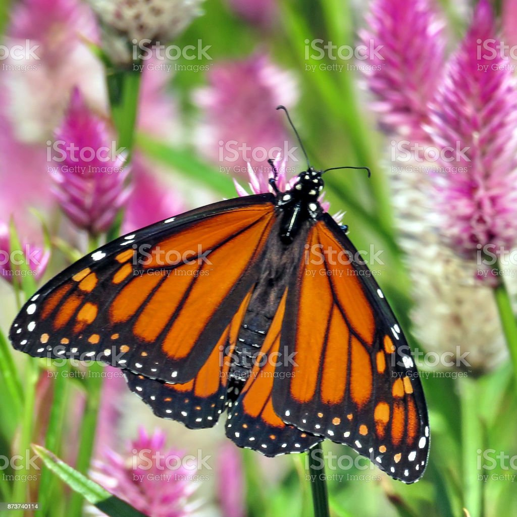 Thornhill the Monarch on a wild aster stock photo