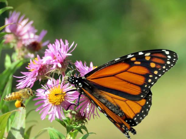 Thornhill der Monarch auf ein wild aster – Foto