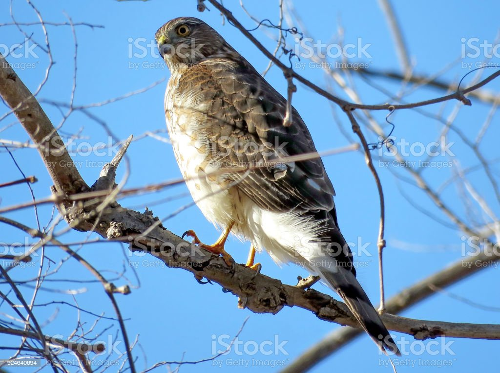 Thornhill the portrait of Coopers Hawk 2018 stock photo