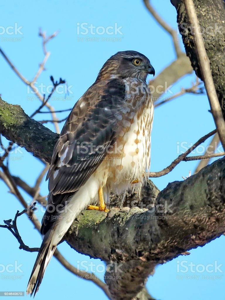 Thornhill the portrait of the Coopers Hawk 2018 stock photo