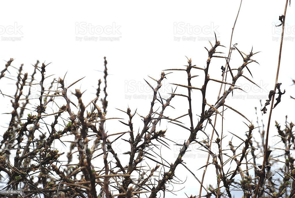 Thorns 6 stock photo
