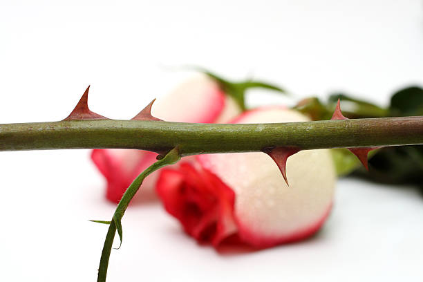 thorns and roses concept - sharp stock photos and pictures