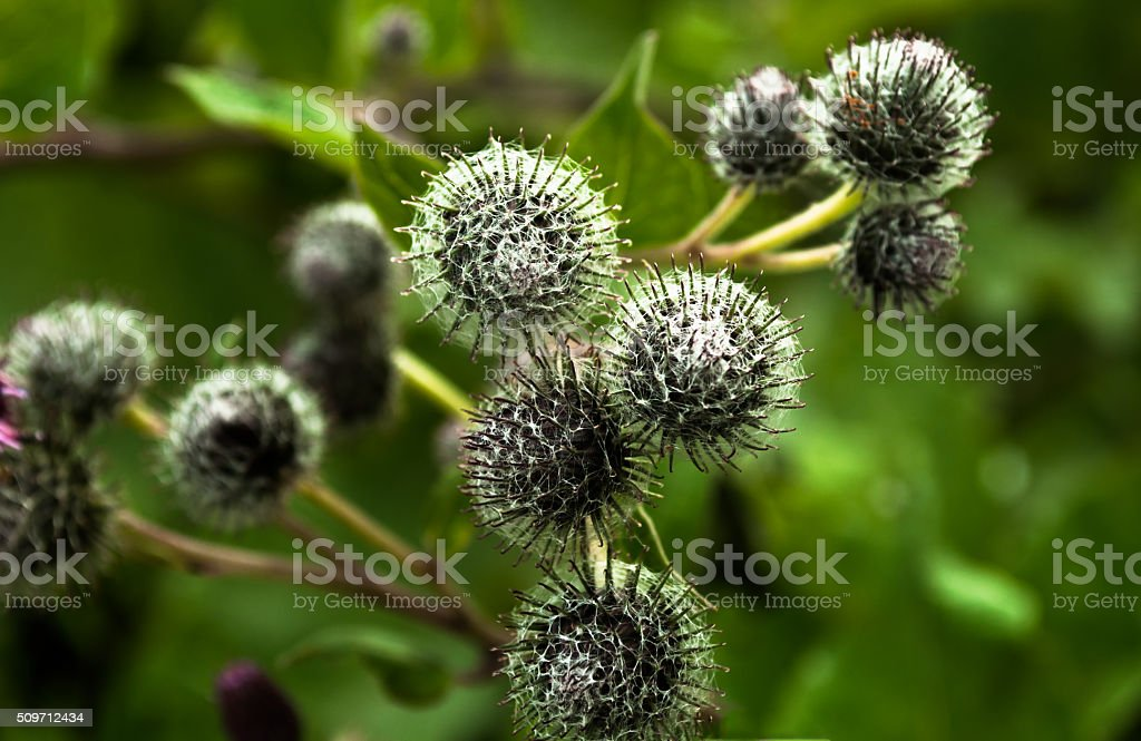 Thorns burdock herb view from above nature background stock photo