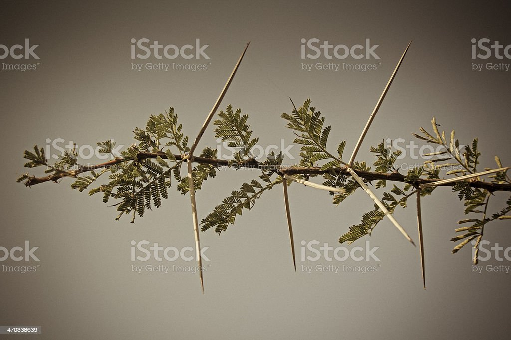 Thorns of Acacia Nilotica stock photo