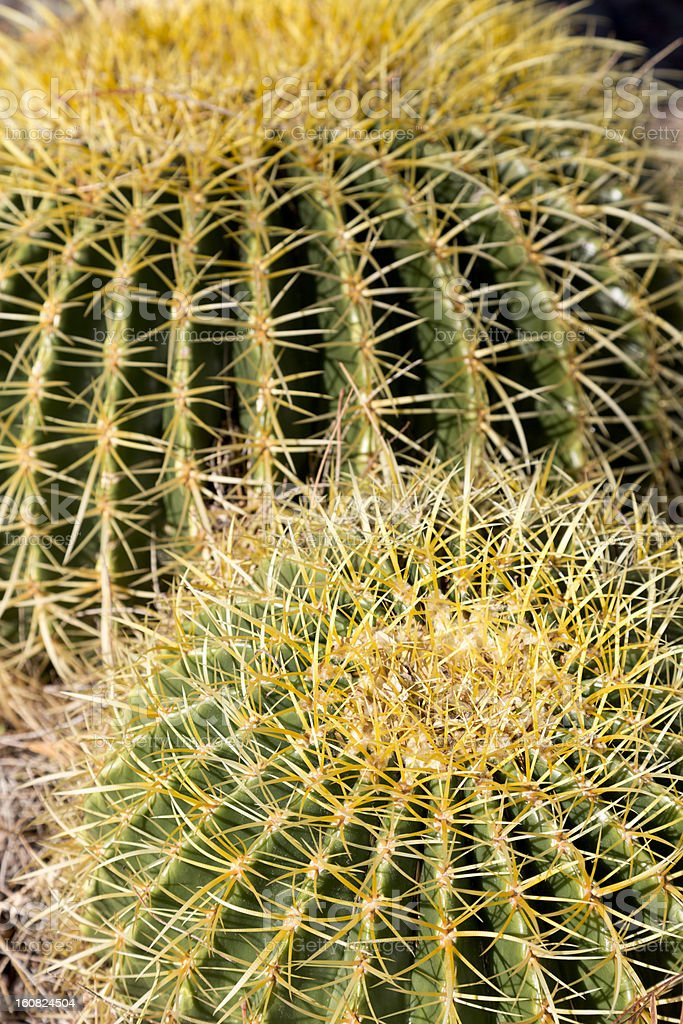 Thorns of Barrel Cactus royalty-free stock photo