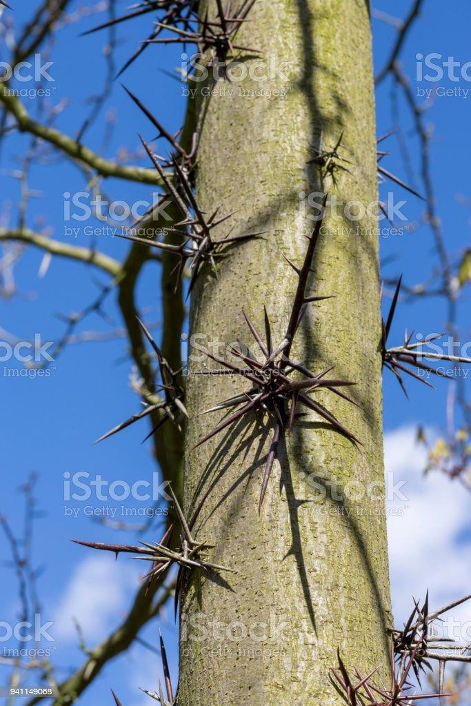 Thorns of Honey locust stock photo