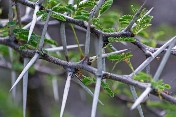 Thorns on the branch of Vachellia farnesiana (Cují) stock photo