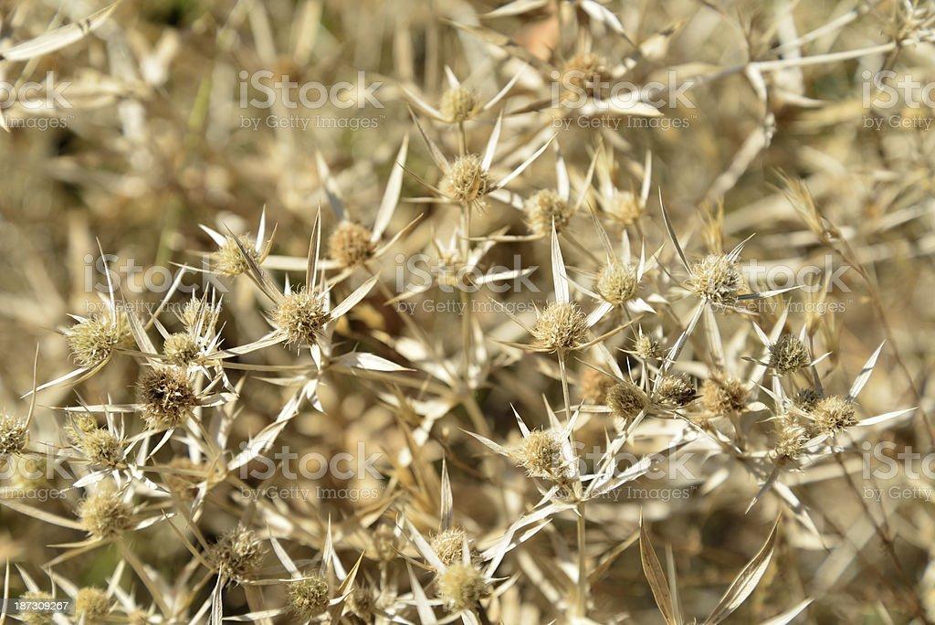 Thorns royalty-free stock photo