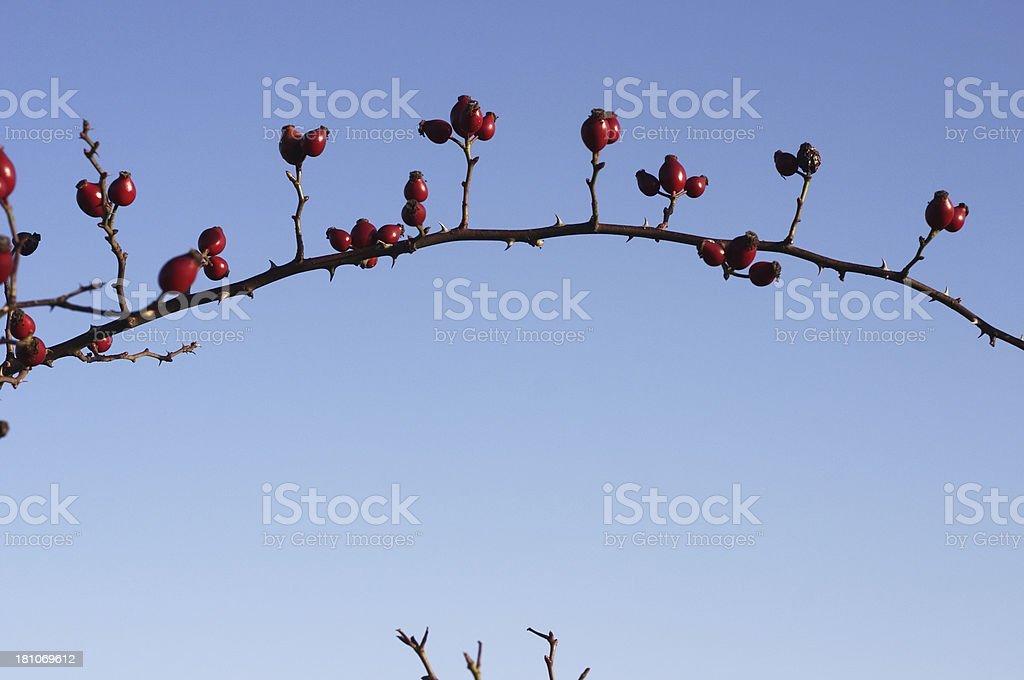 Thorny arch of red hawthorn berries blue sky royalty-free stock photo
