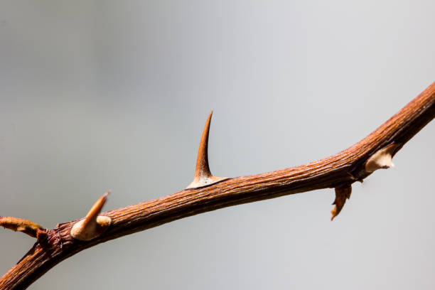 thorny branch, macro, blurred - sharp stock photos and pictures