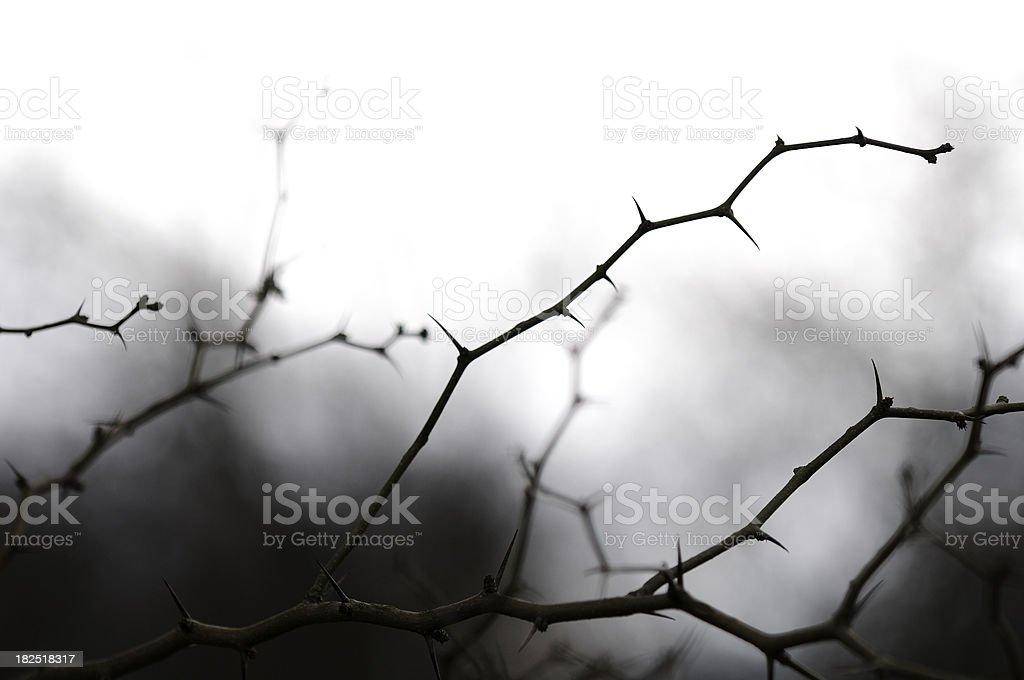 Thorny branches from Horse-apple tree (Maclura pomifera). stock photo