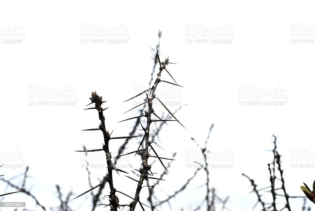 Thorny Branches, monotone stock photo