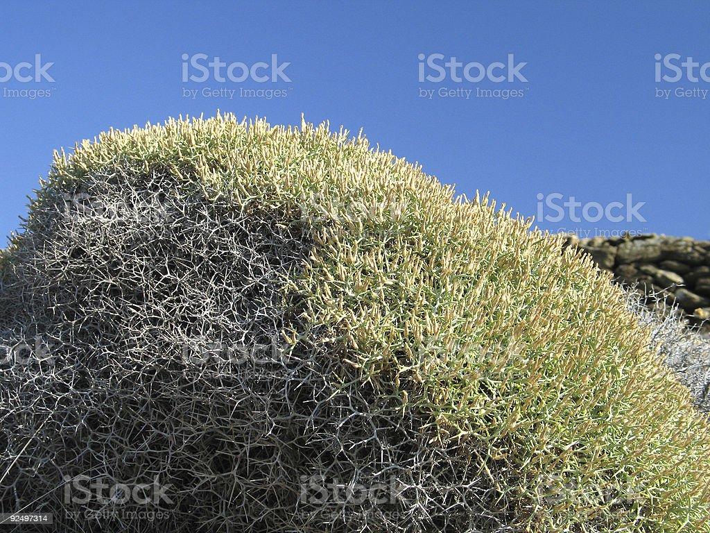 Thorny Bush royalty-free stock photo