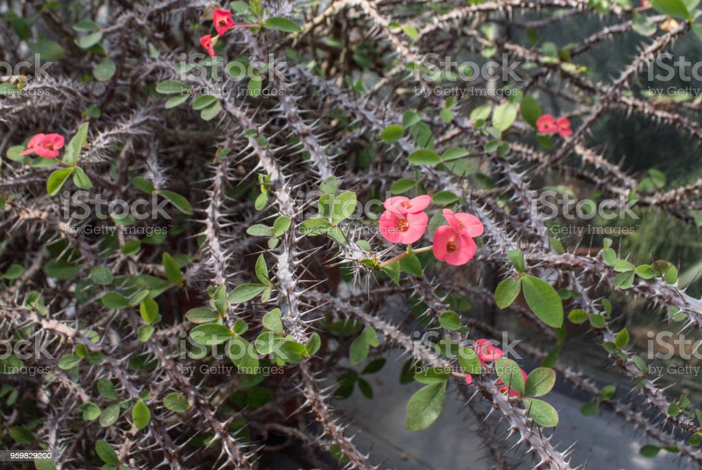 Thorny Bush With Pink Flowers Stock Photo Download Image Now Istock