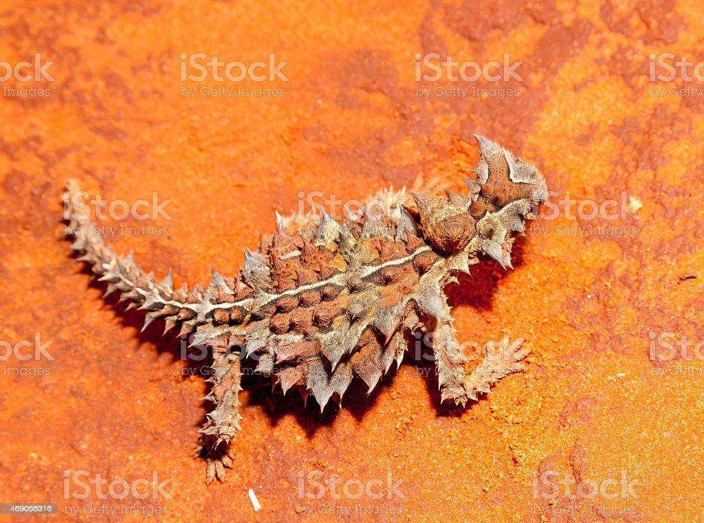 thorny devil lizard australia stock photo