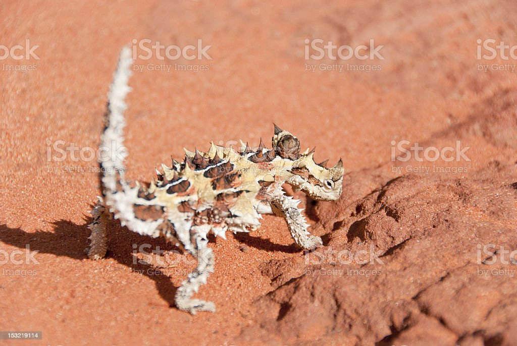 Thorny Devil Lizard looking at camera stock photo