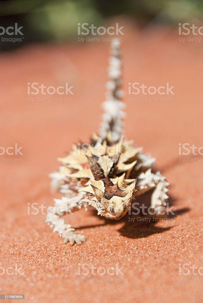 Thorny Devil Lizard making a bow towards camera royalty-free stock photo