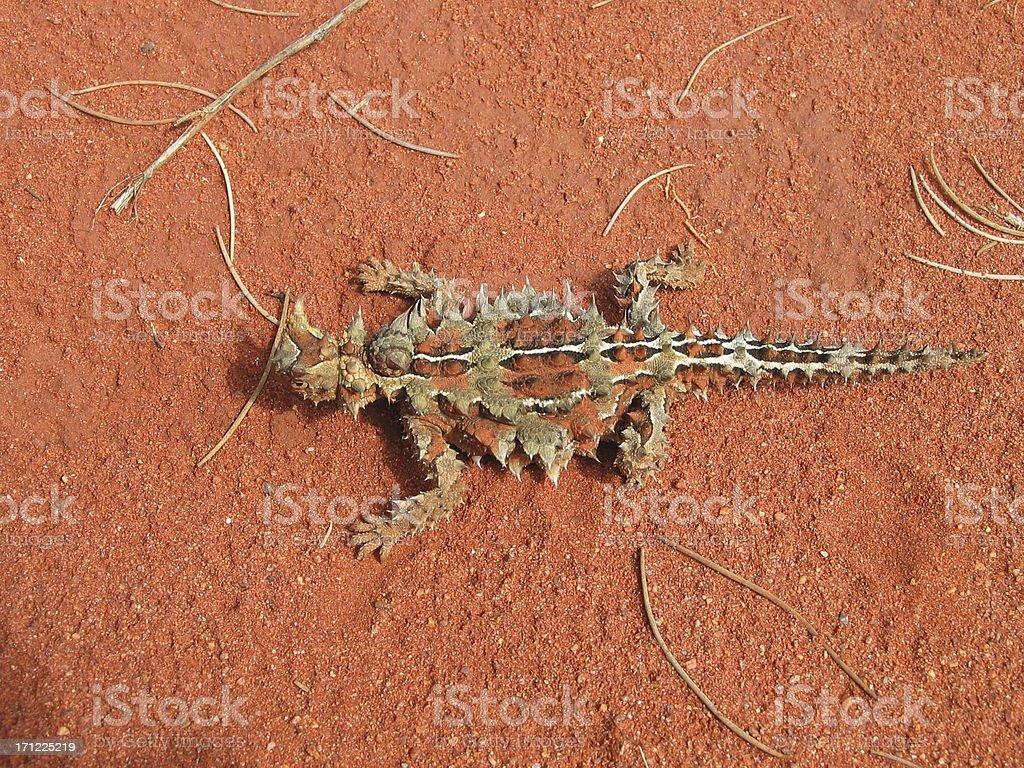 Thorny Devil Lizard stock photo