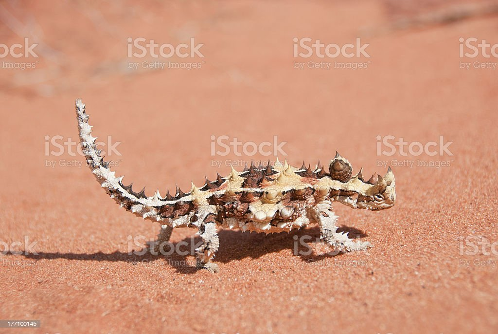 Thorny Devil Lizard walking on red sand in the outback stock photo