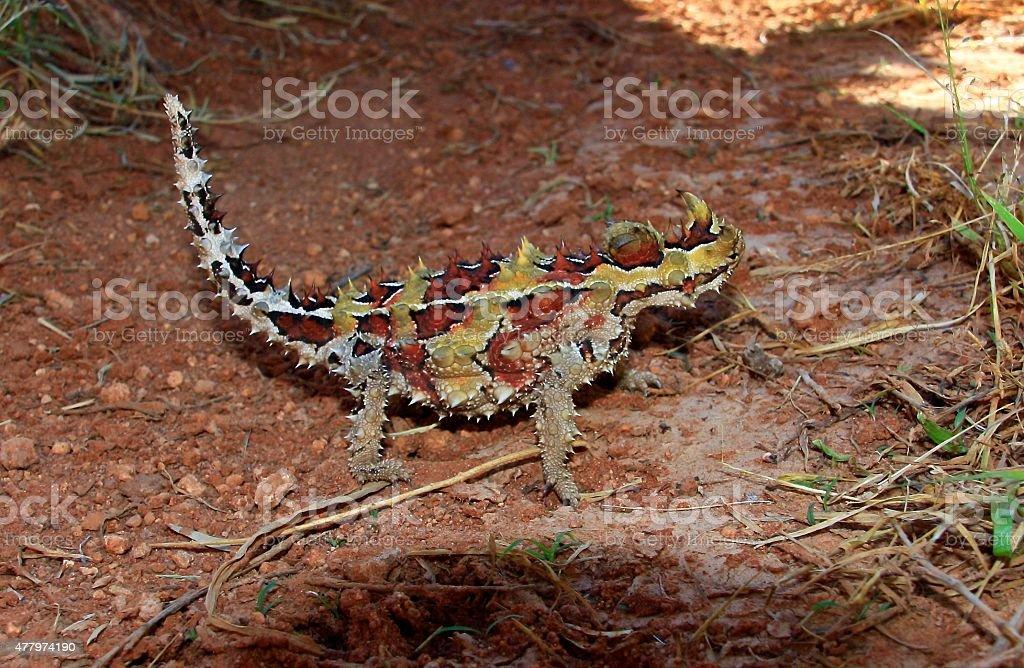 Thorny devil, Outback Australia stock photo