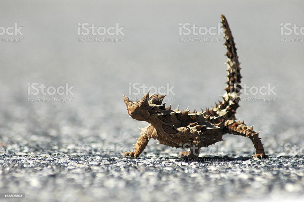Thorny Devil royalty-free stock photo