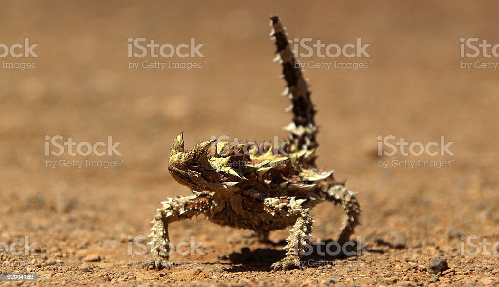 Thorny Devil stock photo