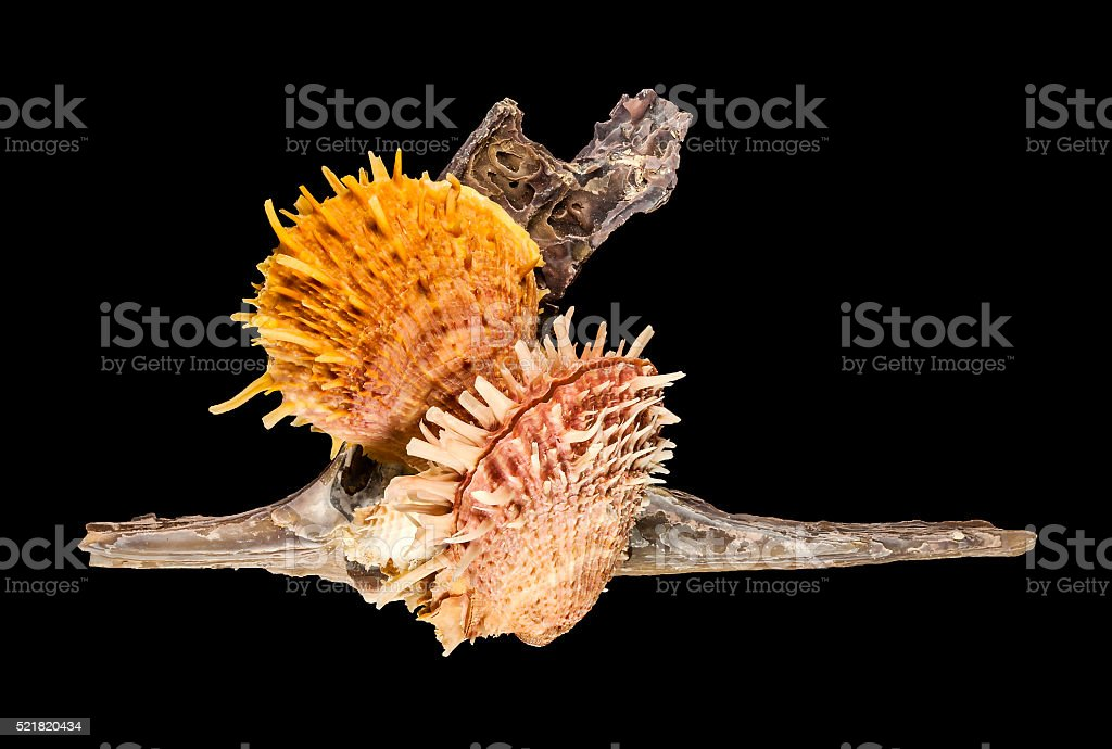 Thorny Oysters Seashell Spondylus On Malleus stock photo
