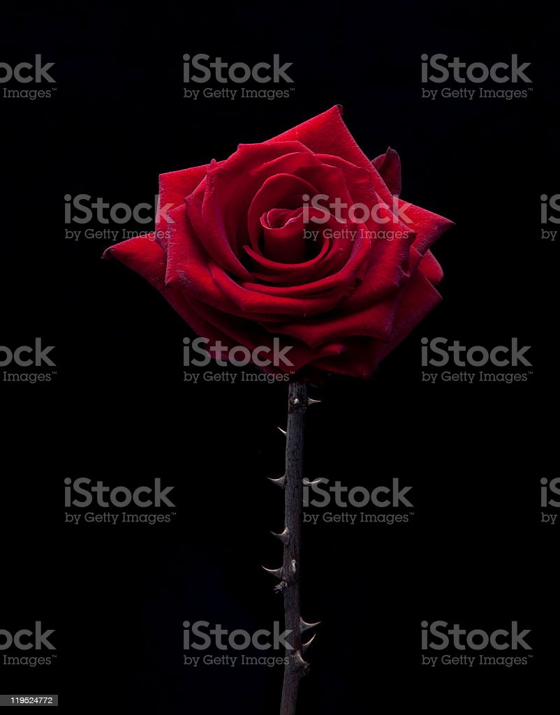 thorny rose stock photo