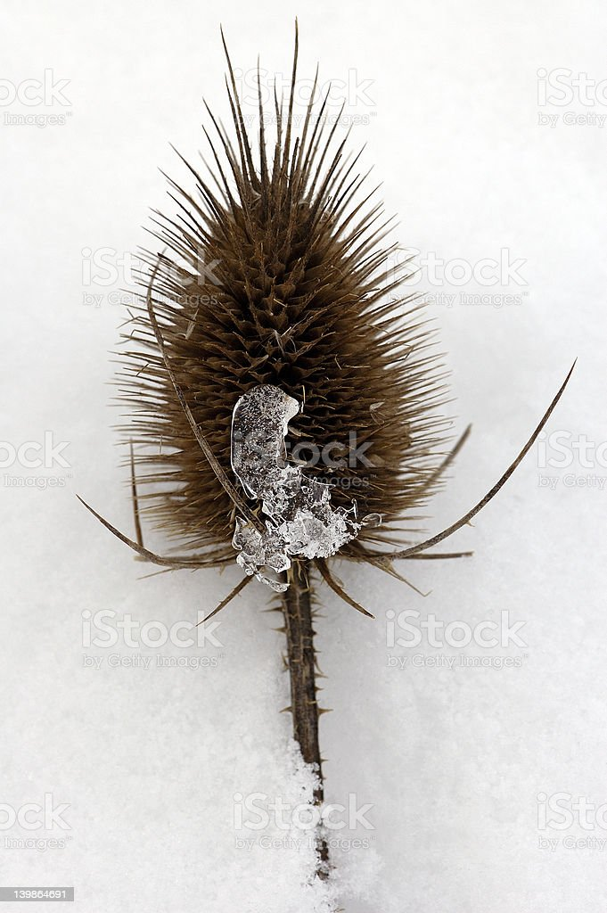 Thorny Thing in the Snow royalty-free stock photo