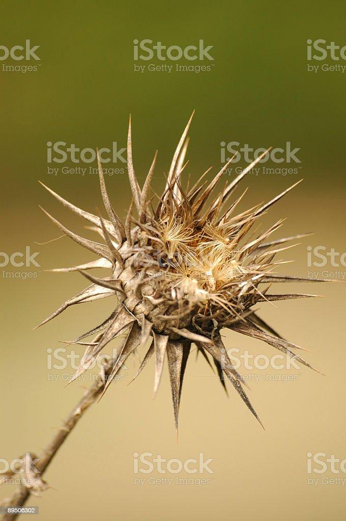 Thorny wildflower royalty-free stock photo