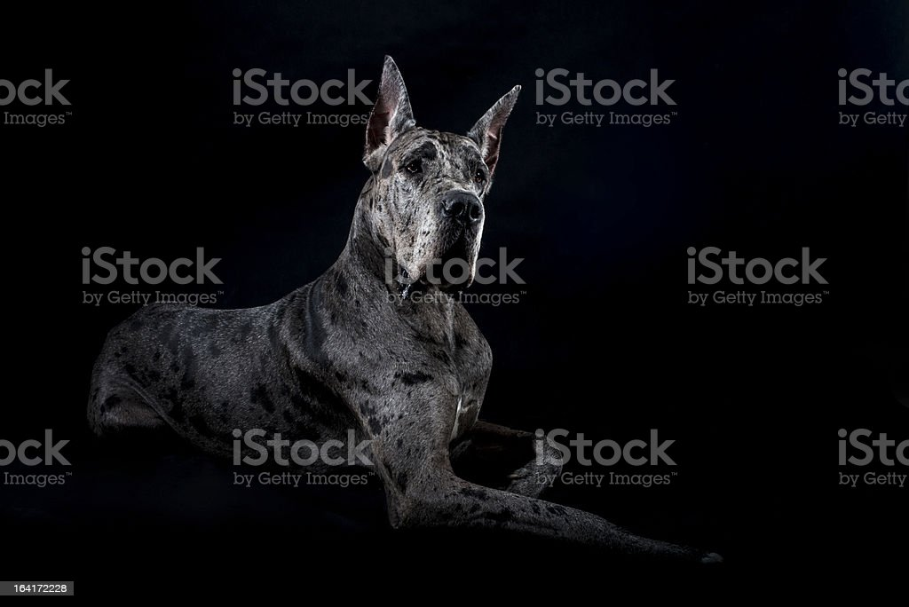 thoroughbred dog a gray harlequin Great Dane royalty-free stock photo