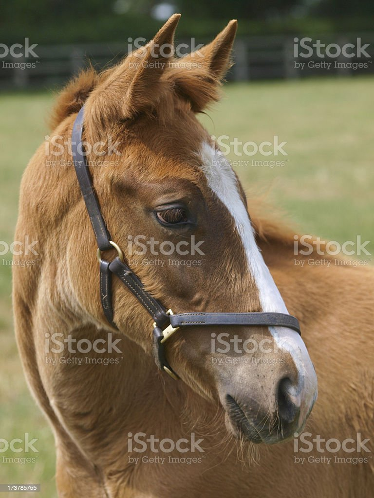 Thoroughbred Foal royalty-free stock photo