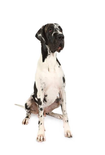 Thoroughbred gran perro danés - foto de stock