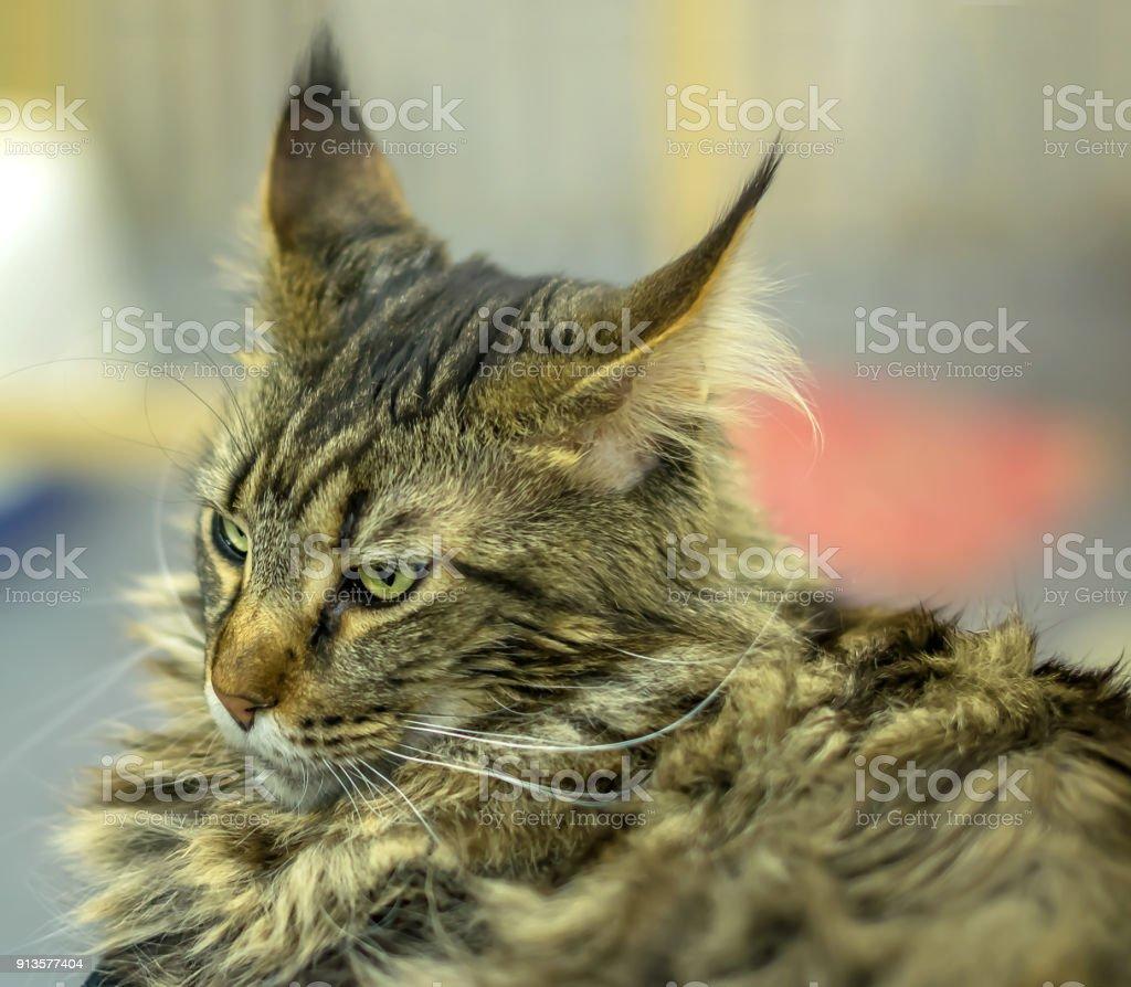 майкон коты